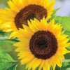 Sunflower Counselling Services profile image