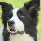 Blackgold pet services logo
