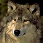 Wolf property maintenance services