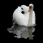 Swan Psychotherapy profile image.