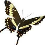 Papilio  profile image.