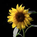 Sunflower Bartender profile image.