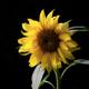 Sunflower Bartender logo