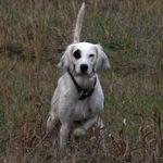 Perfection Bird Dog Training profile image.