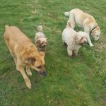 Happy Hounds dog walking and pet services  profile image.