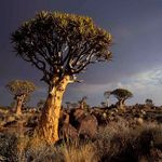 African Arborists - Tree Felling profile image.