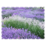 Lavender and Lemon Cleaning Company, LLC profile image.