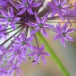 Allium Florist profile image.