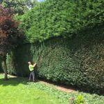 tree and hedge care profile image.