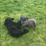 Shazies dog walking services profile image.