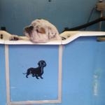 Dogsboddies yorks number 1 mobile dog wash profile image.