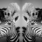 Double Zebra profile image.